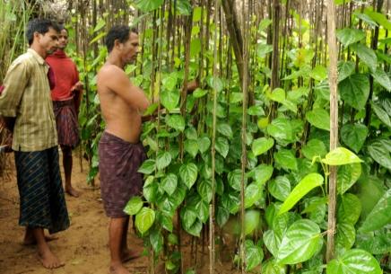 Ферма по выращиванию листьев кустарника бетеля Píper bétle в Индии.